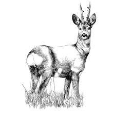 Deer Stands In The Dry Grass S...