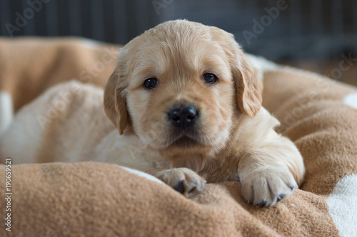 Golden Retriever Puppy Lying In A Basket With A Brown Cuddly Blanket