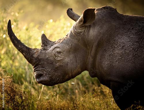 Poster de jardin Rhino Portrait eines Breitmaulnashorns im Abendlicht