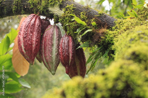 Fotomural Cacao Tree