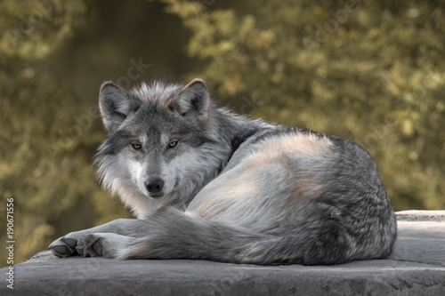 Платно  Mexican gray wolf full body portrait laying on a rock in the woods during autumn