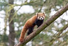 Kleine Panda / Roter Panda Bär