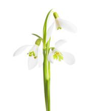 Three Snowdrop Flowers Isolate...
