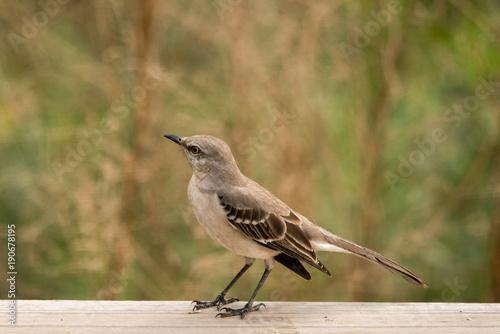 Fotomural Northern mockingbird