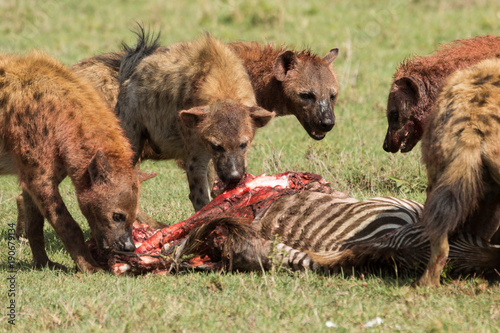 Fotografie, Obraz  hyenas dividing the carcass of a dead zebra on the grasslands of the Maasai Mara