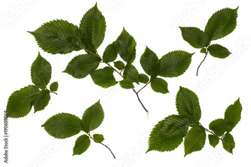 Fotografia, Obraz  The leaves of the common hazel, hazelnut, green leaves