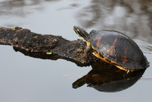 Florida Wildlife / Turtle Basking On A Log In The Water