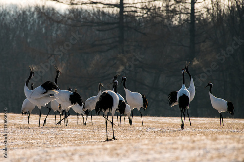 Red-crowned crane bird Poster