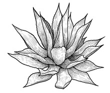 Agave Illustration, Drawing, E...