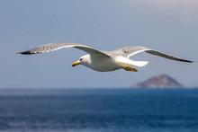 European Herring Gull, Seagull...