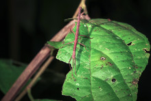 A Stick Insect (order Phasmato...