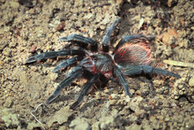 A Mexican Red Rump Tarantula (Brachypelma Albiceps) Walking Along The Forest Floor At Night In Belize.