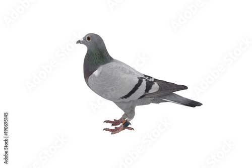 close up of speed racing pigeon bird isolate white background - Buy