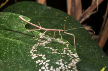 A Stick Insect (family Phyllii...