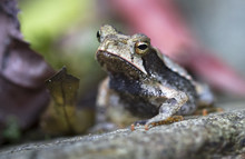A Campbell's Rainforest Toad (...