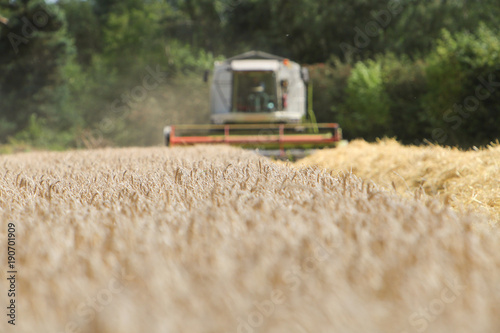 Fotografia  corn harvest