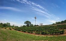 Coffee Plantation Farm Panoramic