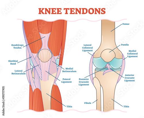 Knee Tendons medical vector illustration scheme, anatomical diagram Canvas-taulu