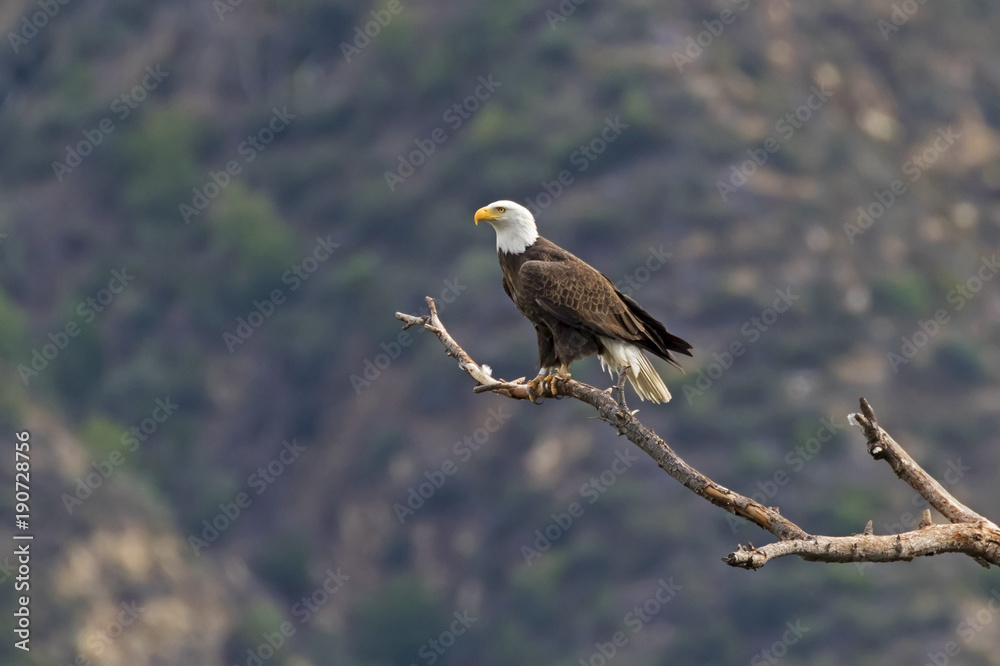 Bird bald eagle hunting from high above a Los Angeles valley
