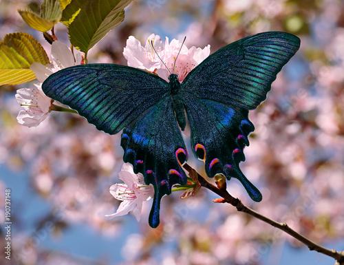 Fototapeta Black swallowtail or papilio maackii butterfly on oriental cherry blossom