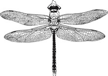 Dragonfly Graphic Realistic Line Ink Drawing