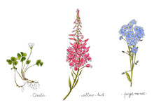 Wild Plants And Flowers Hand Drawn In Color. Willow, Oxalis And Forget-me-not. Herbal Vector Illustration.