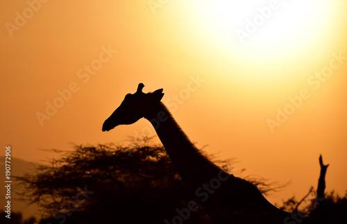 Photo  Giraffe im Sonnenuntergang
