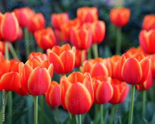 Foto op Canvas Baksteen Red tulips with beautiful bouquet background, Tulip, Tulips in spring at the garden, Selective focus