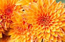 Light Orange Yellow Mum Flowers In The Garden Right