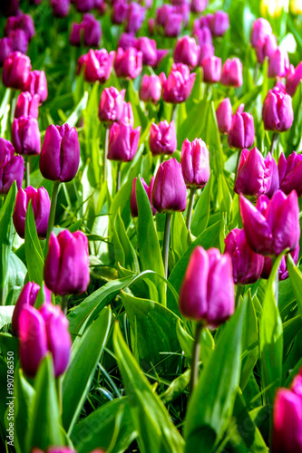 Foto op Plexiglas Tulp Spring colorful tulips field, natural floral background. ultra violet concept - color of the year 2018
