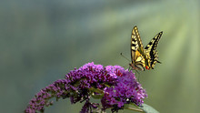 Swallowtail Butterfly (Papilio...