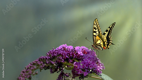 Fotomural Swallowtail butterfly (Papilio machaon)          feeds from a purple butterfly b