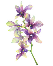 The Branch Of Blossoming Tropical Purple Flower Orchid (Phalaenopsis Orchid, Dendrobium). Floral Art. Close Up Hybrid Orchid. Hand Drawn Watercolor Painting Illustration On White Background.