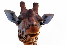 Close-up Of A Cheeky Giraffe With A White Background Looking At The Camera As If To Say You Looking At Me? With Space For Text.