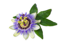Passiflora Passionflower Isola...