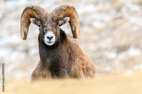 Bighorn sheep (Ovis canadensis), Jasper National Park, Alberta, Canada Wallpaper Mural