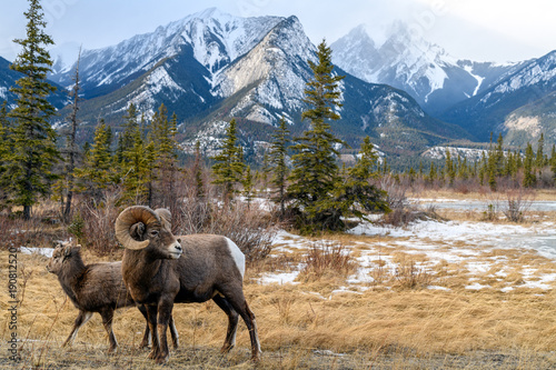 Photo Bighorn sheep (Ovis canadensis), Jasper National Park, Alberta, Canada