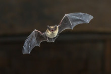 Flying Pipistrelle Bat On Wood...