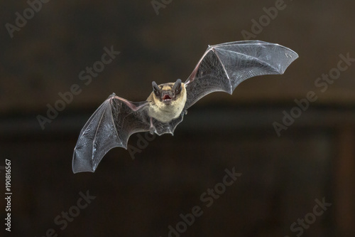 Flying Pipistrelle bat on wooden ceiling Wallpaper Mural