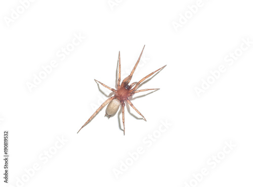 spider argyroneta aquatica isolated on white background