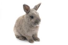 Beautiful Gray Bunny Sitting I...