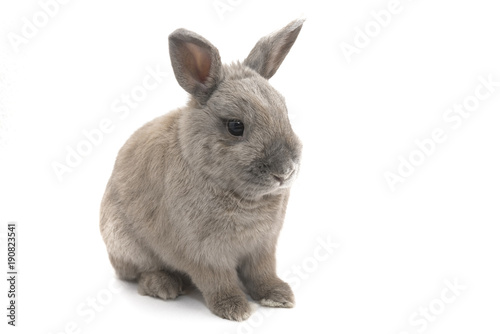 Photo  Beautiful gray Bunny sitting isolated on white background