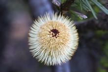 A Bottlebrush Flower (Calliste...