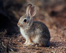 Young Cottontail Rabbit In Sou...