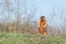 Bobak Marmot Standing On Hind ...