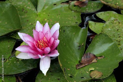 Obrazy lilia wodna  kolorowy-kwiat-lilia-wodna-europejska-bialy-na-powierzchni-stawu