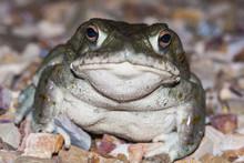 The Colorado River Toad (Incil...