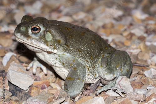 The Colorado River toad (Incilius alvarius), the Sonoran Desert toad, is a psychoactive toad found in northern Mexico and the southwestern United States Canvas Print