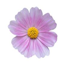 Cosmos Flower On White Backgro...