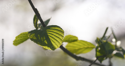 Photo alder leaves in spring morning closeup